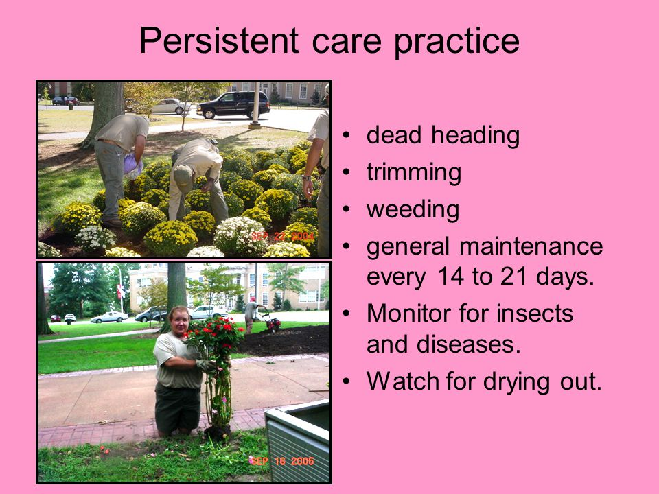 Persistent care practice dead heading trimming weeding general maintenance every 14 to 21 days.