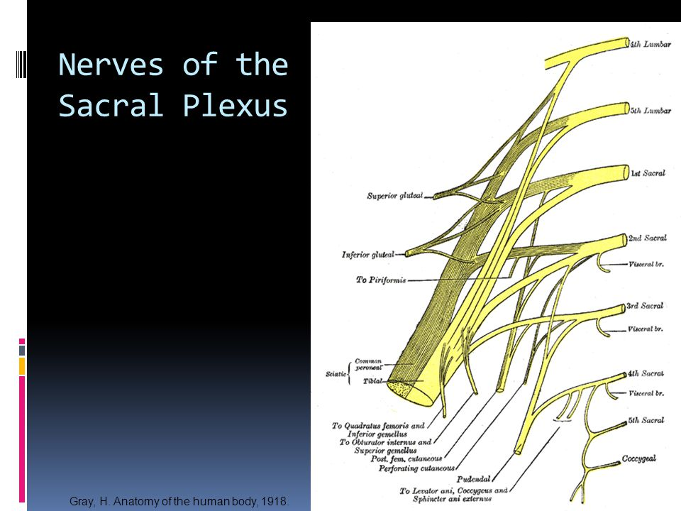 Nerves of the Sacral Plexus Gray, H. Anatomy of the human body, 1918.