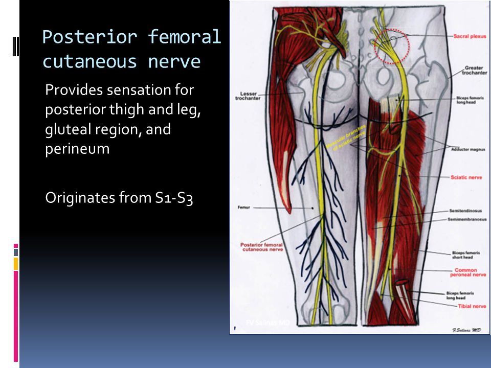Posterior femoral cutaneous nerve Provides sensation for posterior thigh and leg, gluteal region, and perineum Originates from S1-S3