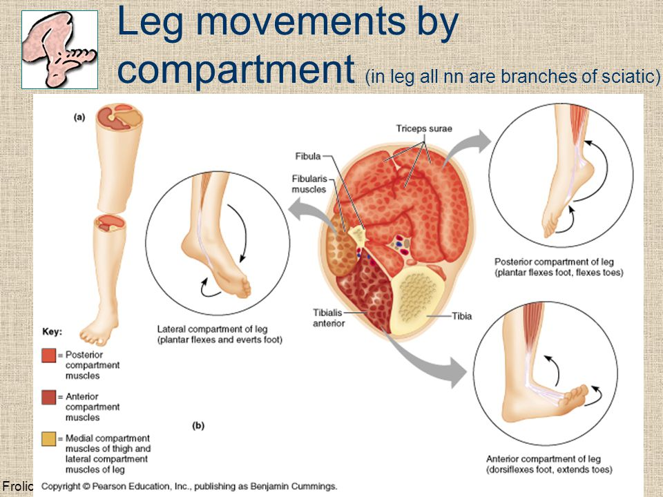 Frolich, Human Anatomy, Lower LImb Leg movements by compartment (in leg all nn are branches of sciatic)