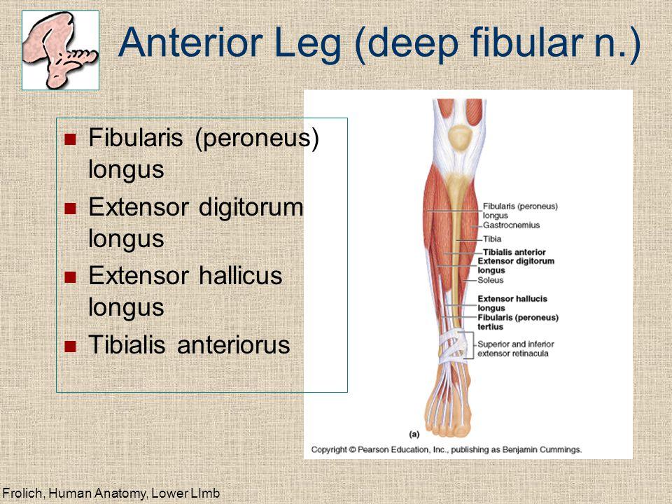 Frolich, Human Anatomy, Lower LImb Anterior Leg (deep fibular n.) Fibularis (peroneus) longus Extensor digitorum longus Extensor hallicus longus Tibialis anteriorus