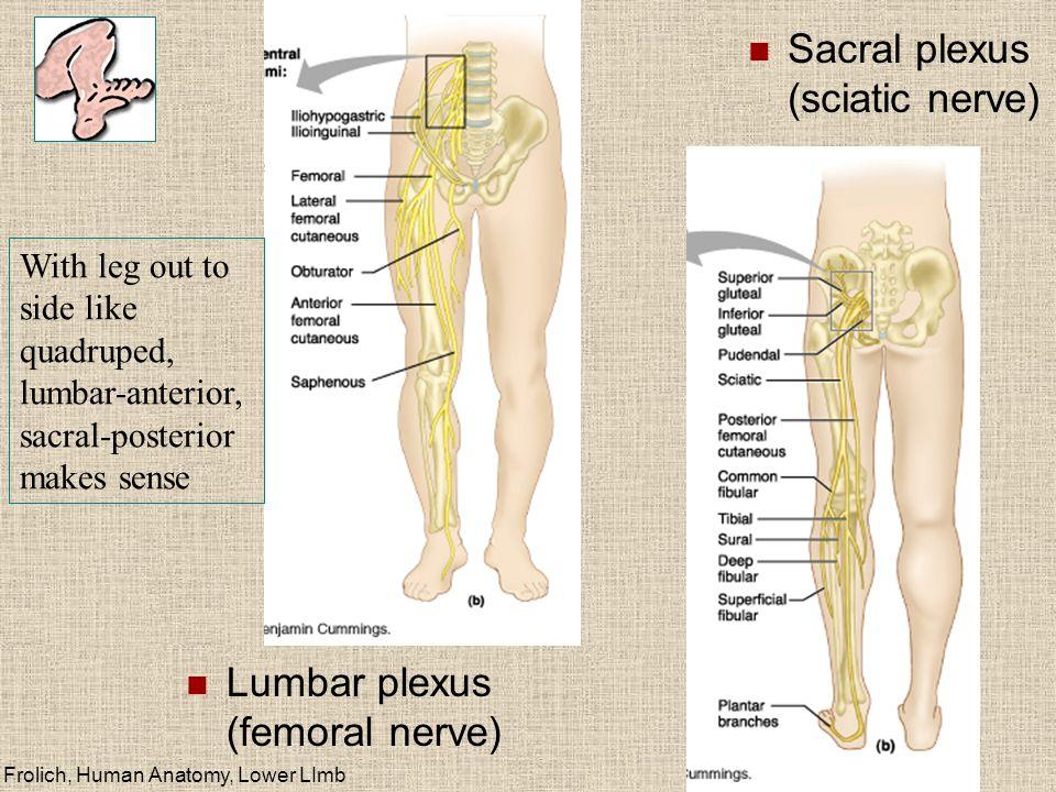 Frolich, Human Anatomy, Lower LImb Lumbar plexus (femoral nerve) Sacral plexus (sciatic nerve) With leg out to side like quadruped, lumbar-anterior, sacral-posterior makes sense