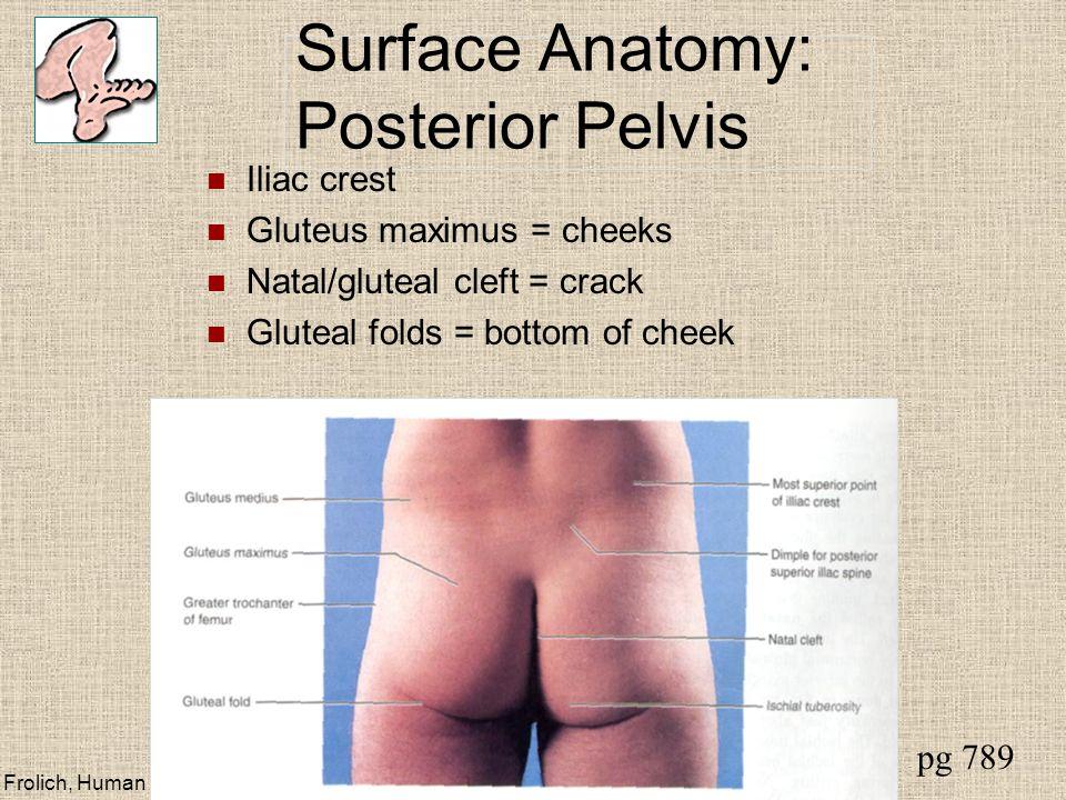 Frolich, Human Anatomy, Lower LImb Surface Anatomy: Posterior Pelvis Iliac crest Gluteus maximus = cheeks Natal/gluteal cleft = crack Gluteal folds = bottom of cheek pg 789