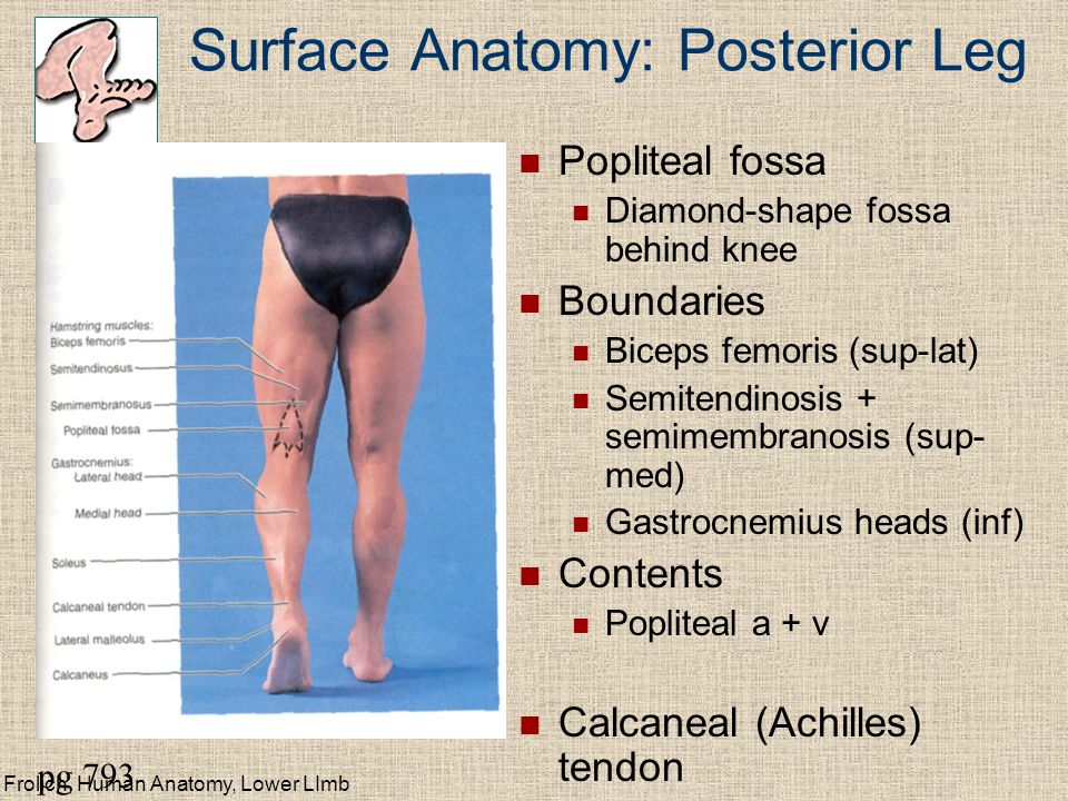 Frolich, Human Anatomy, Lower LImb Surface Anatomy: Posterior Leg Popliteal fossa Diamond-shape fossa behind knee Boundaries Biceps femoris (sup-lat) Semitendinosis + semimembranosis (sup- med) Gastrocnemius heads (inf) Contents Popliteal a + v Calcaneal (Achilles) tendon pg 793