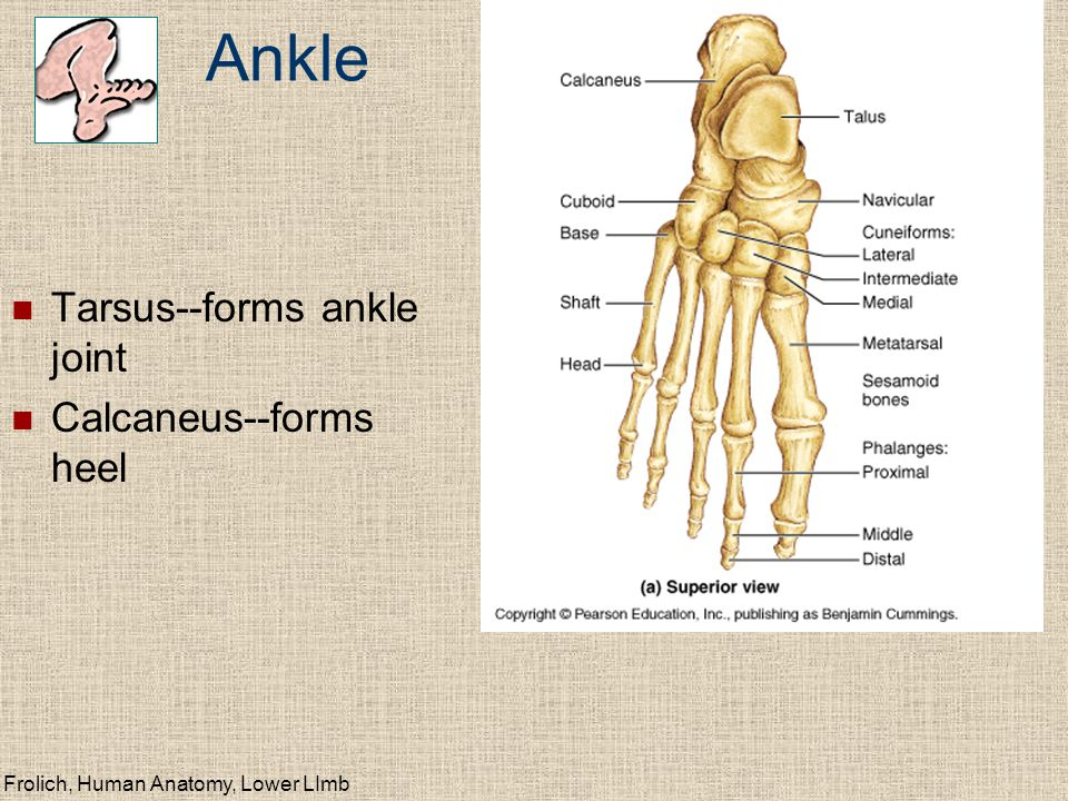 Frolich, Human Anatomy, Lower LImb Ankle Tarsus--forms ankle joint Calcaneus--forms heel