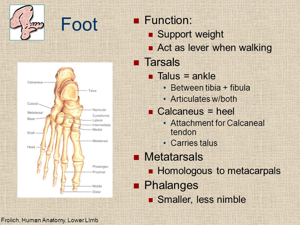 Frolich, Human Anatomy, Lower LImb Foot Function: Support weight Act as lever when walking Tarsals Talus = ankle Between tibia + fibula Articulates w/both Calcaneus = heel Attachment for Calcaneal tendon Carries talus Metatarsals Homologous to metacarpals Phalanges Smaller, less nimble