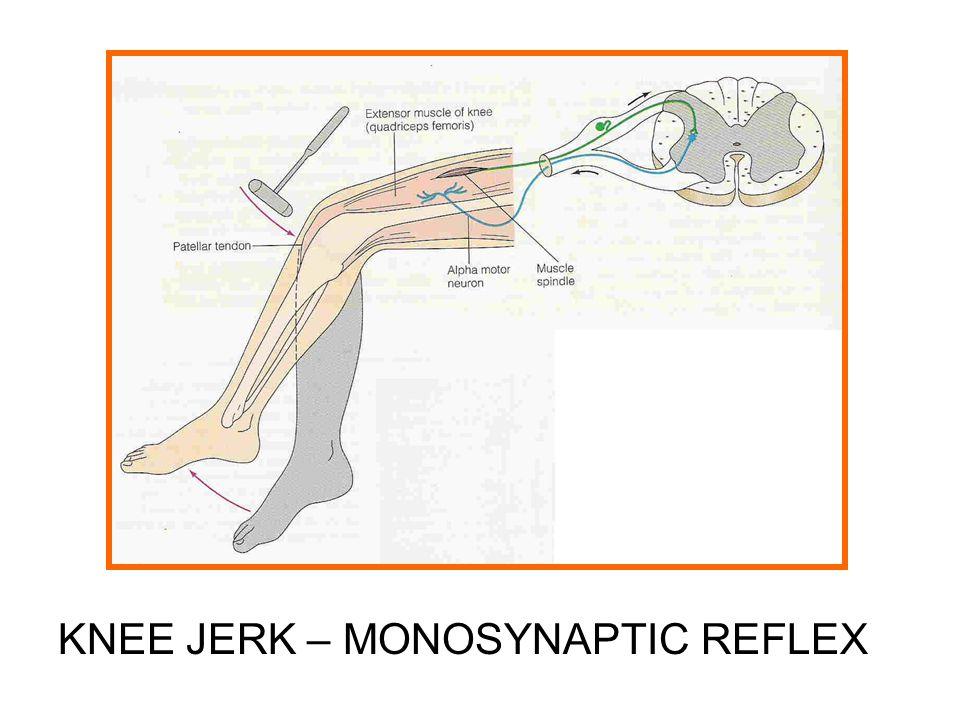 KNEE JERK – MONOSYNAPTIC REFLEX