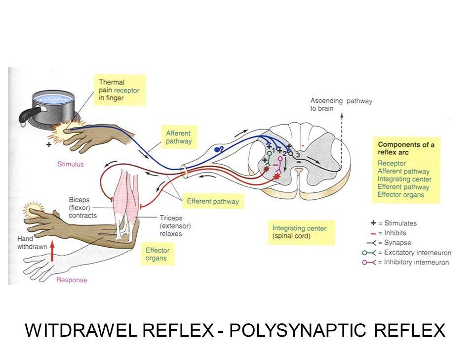WITDRAWEL REFLEX - POLYSYNAPTIC REFLEX