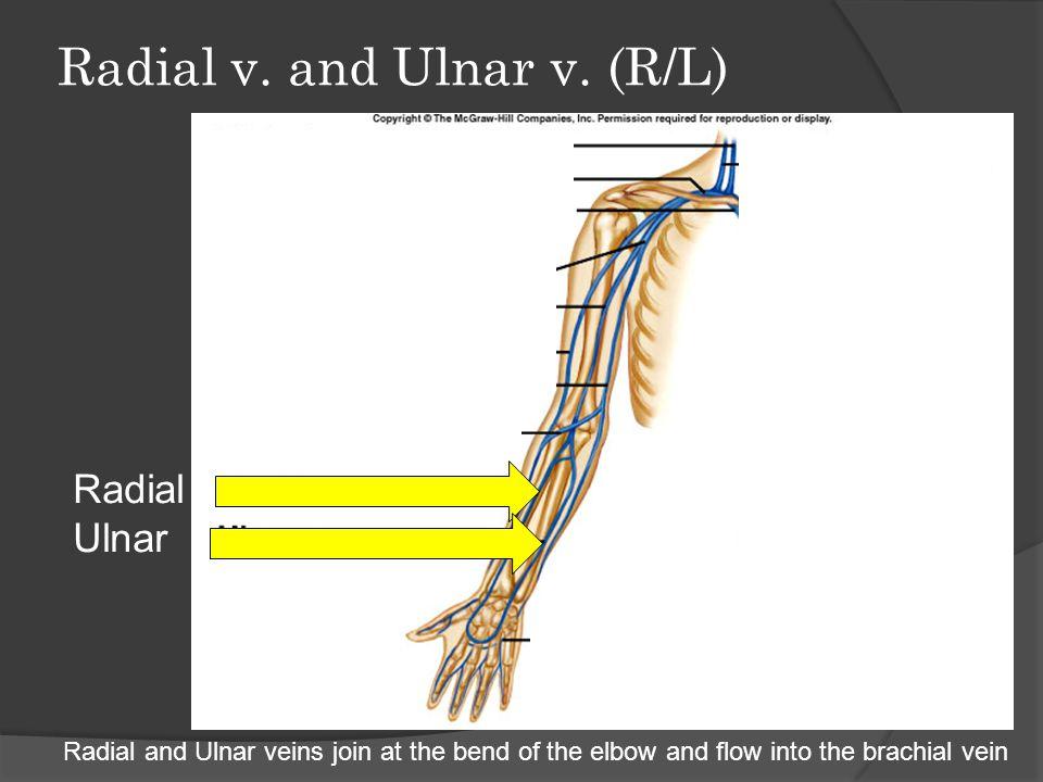 Abdominal Viscera (Internal Organs)