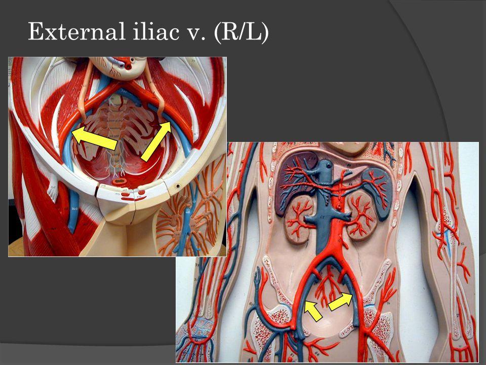 Femoral v. (R/L) (cut) Femoral vein drains into external iliac