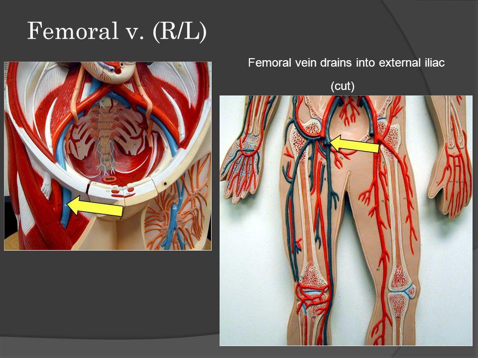 Great Saphenous v. (R/L) Longest vein in the body!