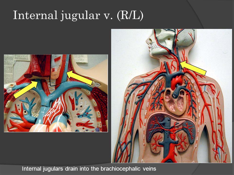 External jugular v. (R/L) External jugulars flow directly into the brachiocephalic veins
