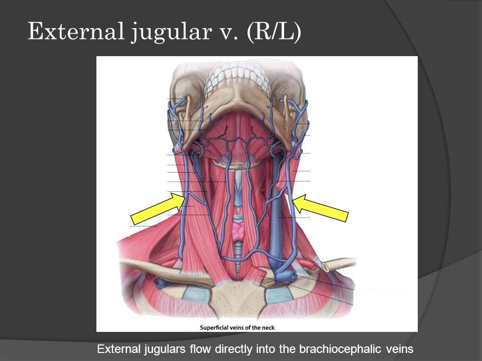 Subclavian v. (R/L) Subclavians unite with internal jugulars and drain into brachiocephalic veins