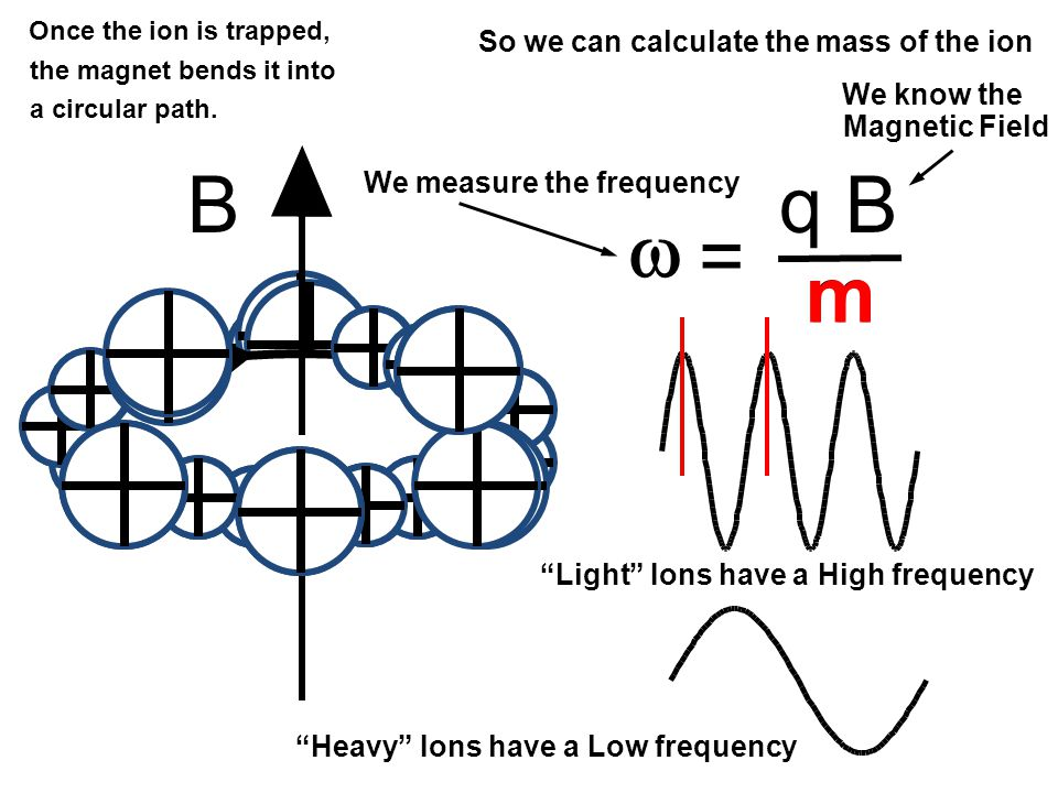 Bq B m =  Once the ion is trapped, the magnet bends it into a circular path.