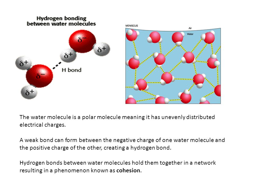 The water molecule is a polar molecule meaning it has unevenly distributed electrical charges. A weak bond can form between the negative charge of one