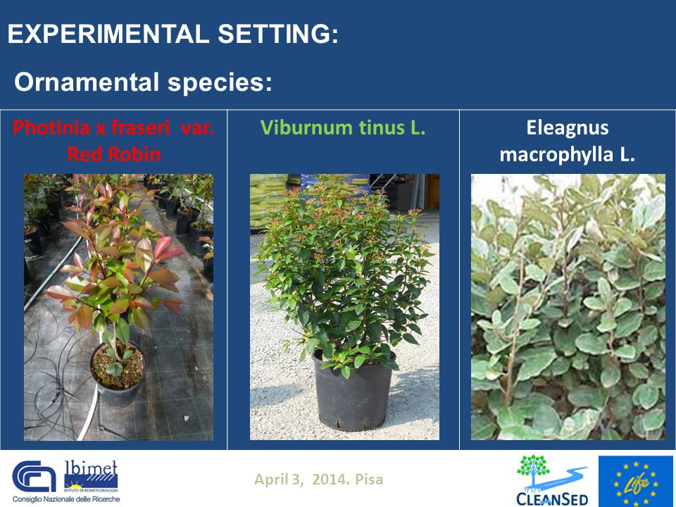April 3, 2014. Pisa EXPERIMENTAL SETTING: Photinia x fraseri var. Red Robin Viburnum tinus L.Eleagnus macrophylla L. Ornamental species: