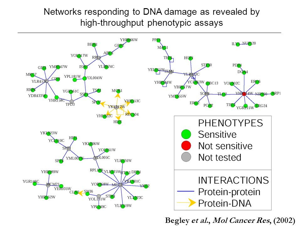 Networks responding to DNA damage as revealed by high-throughput phenotypic assays Begley et al., Mol Cancer Res, (2002)