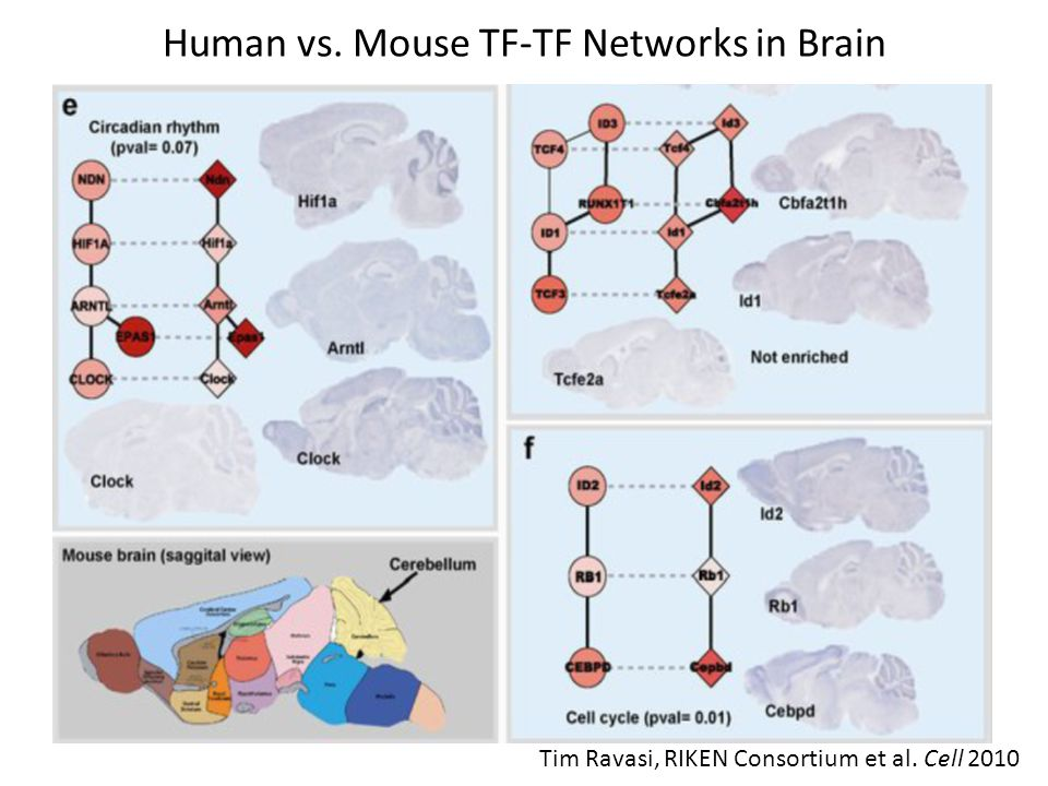 Human vs. Mouse TF-TF Networks in Brain Tim Ravasi, RIKEN Consortium et al. Cell 2010