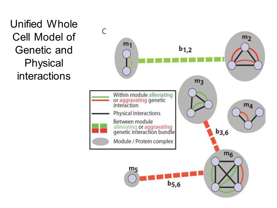 Unified Whole Cell Model of Genetic and Physical interactions