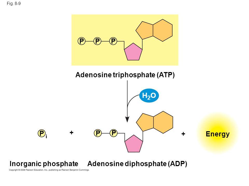 Fig. 8-9 Inorganic phosphate Energy Adenosine triphosphate (ATP) Adenosine diphosphate (ADP) P P P PP P + + H2OH2O i
