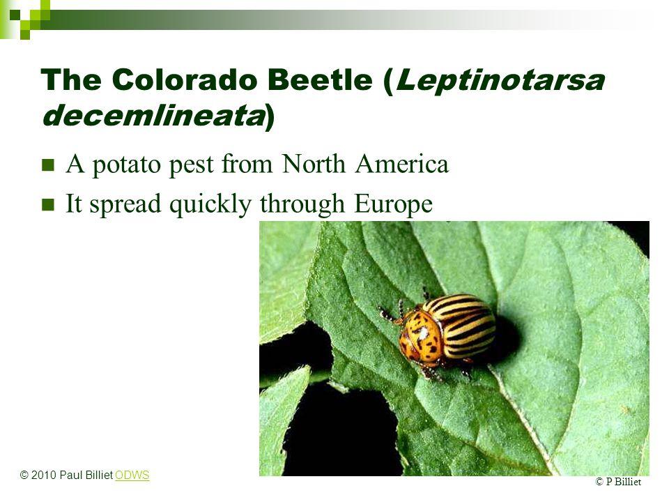 The Colorado Beetle (Leptinotarsa decemlineata) A potato pest from North America It spread quickly through Europe © P Billiet © 2010 Paul Billiet ODWS