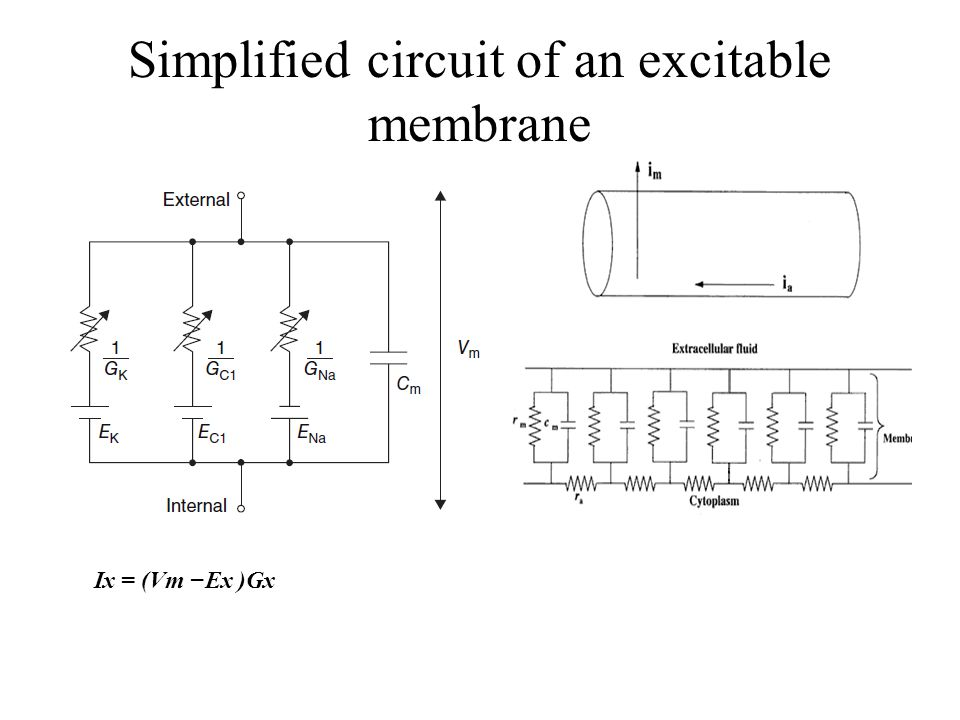 Simplified circuit of an excitable membrane Ix = (Vm −Ex )Gx