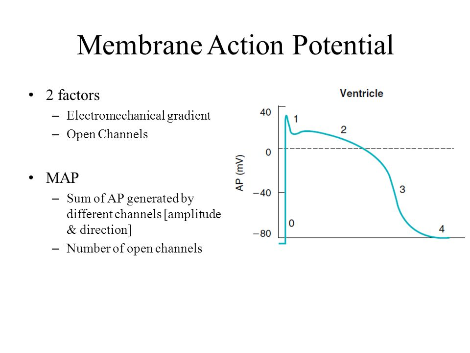 Membrane Action Potential 2 factors – Electromechanical gradient – Open Channels MAP – Sum of AP generated by different channels [amplitude & directio