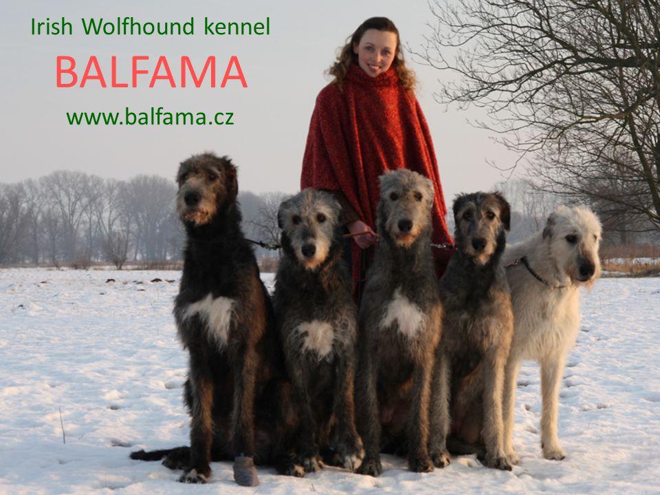 Irish Wolfhound kennel BALFAMA www.balfama.cz