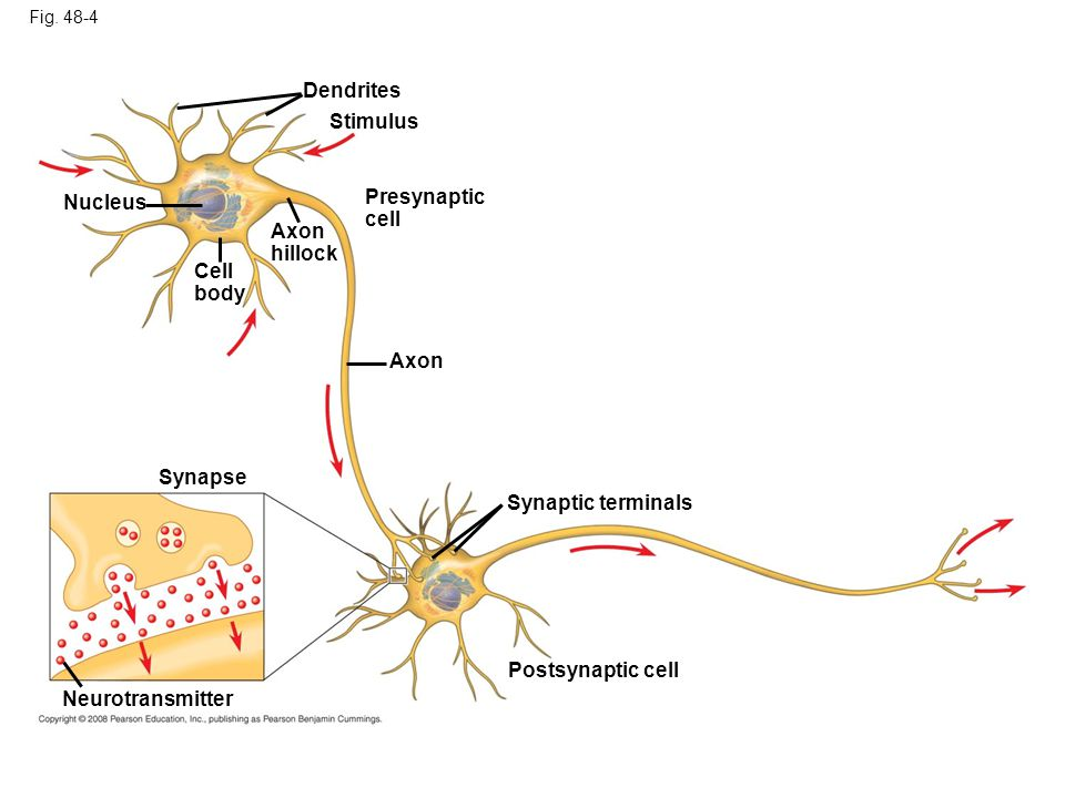 Fig. 48-4 Dendrites Stimulus Nucleus Cell body Axon hillock Presynaptic cell Axon Synaptic terminals Synapse Postsynaptic cell Neurotransmitter