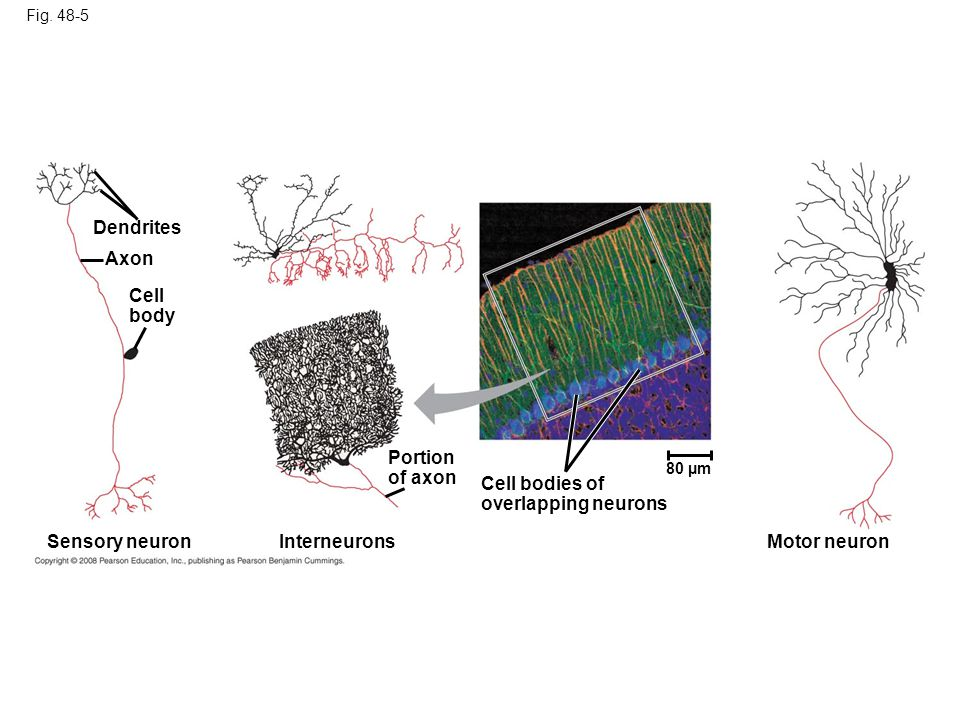 Fig. 48-5 Dendrites Axon Cell body Sensory neuronInterneurons Portion of axon Cell bodies of overlapping neurons 80 µm Motor neuron