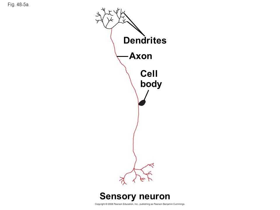 Fig. 48-5a Dendrites Axon Cell body Sensory neuron