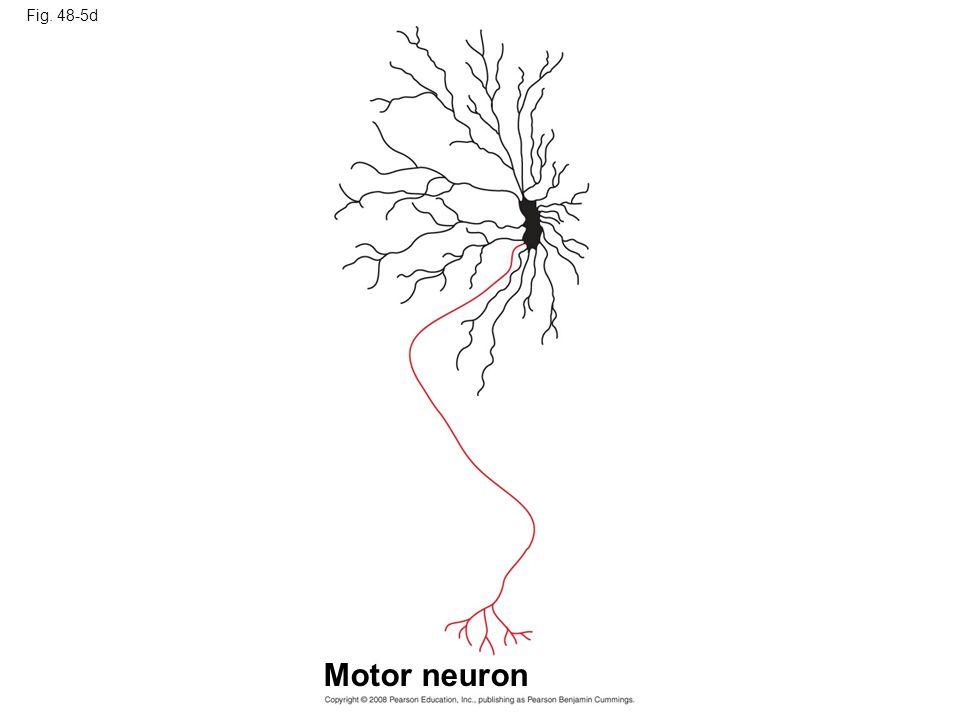 Fig. 48-5d Motor neuron