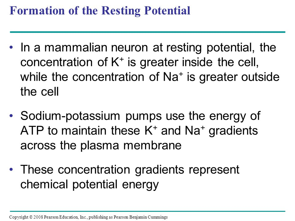 Copyright © 2008 Pearson Education, Inc., publishing as Pearson Benjamin Cummings Formation of the Resting Potential In a mammalian neuron at resting potential, the concentration of K + is greater inside the cell, while the concentration of Na + is greater outside the cell Sodium-potassium pumps use the energy of ATP to maintain these K + and Na + gradients across the plasma membrane These concentration gradients represent chemical potential energy