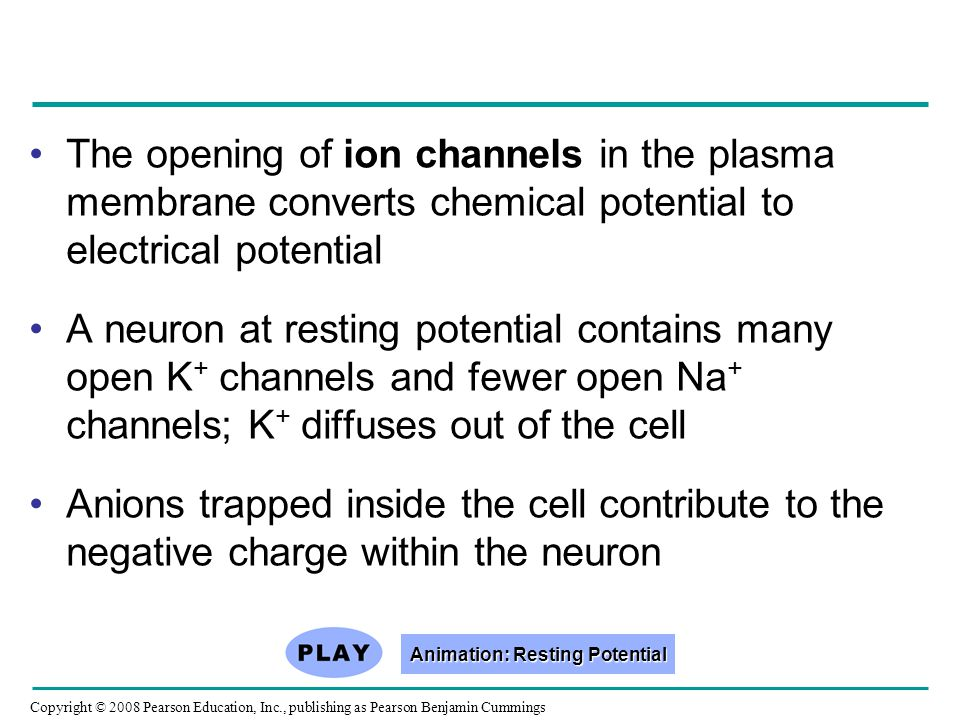 Copyright © 2008 Pearson Education, Inc., publishing as Pearson Benjamin Cummings The opening of ion channels in the plasma membrane converts chemical potential to electrical potential A neuron at resting potential contains many open K + channels and fewer open Na + channels; K + diffuses out of the cell Anions trapped inside the cell contribute to the negative charge within the neuron Animation: Resting Potential Animation: Resting Potential