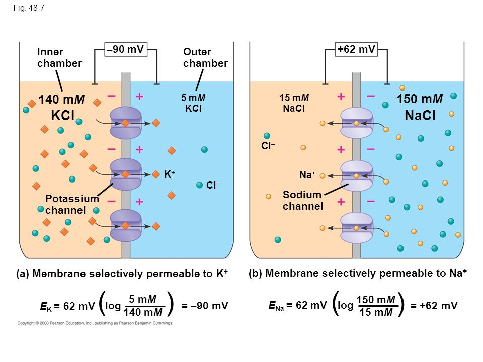 Fig. 48-7 Inner chamber Outer chamber –90 mV 140 mM 5 mM KCI K+K+ Cl – Potassium channel (a) Membrane selectively permeable to K + (b) Membrane select