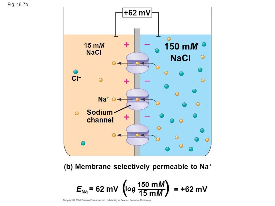 Fig. 48-7b (b) Membrane selectively permeable to Na + +62 mV 15 mM NaCI Cl – 150 mM NaCI Na + Sodium channel E Na = 62 mV ( log 150 mM 15 mM = +62 mV