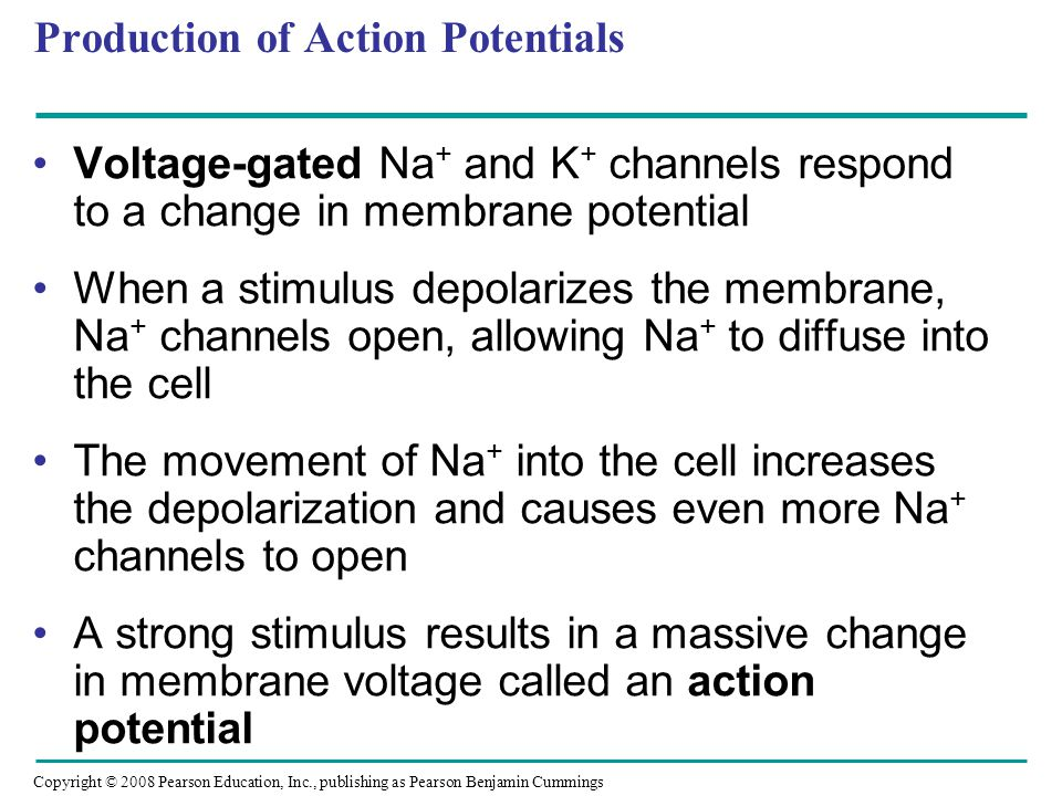 Copyright © 2008 Pearson Education, Inc., publishing as Pearson Benjamin Cummings Production of Action Potentials Voltage-gated Na + and K + channels respond to a change in membrane potential When a stimulus depolarizes the membrane, Na + channels open, allowing Na + to diffuse into the cell The movement of Na + into the cell increases the depolarization and causes even more Na + channels to open A strong stimulus results in a massive change in membrane voltage called an action potential