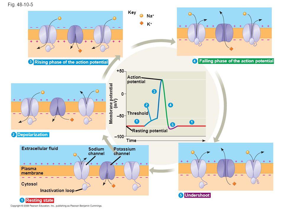 Fig. 48-10-5 Key Na + K+K+ +50 Action potential Threshold 0 1 4 5 1 –50 Resting potential Membrane potential (mV) –100 Time Extracellular fluid Plasma