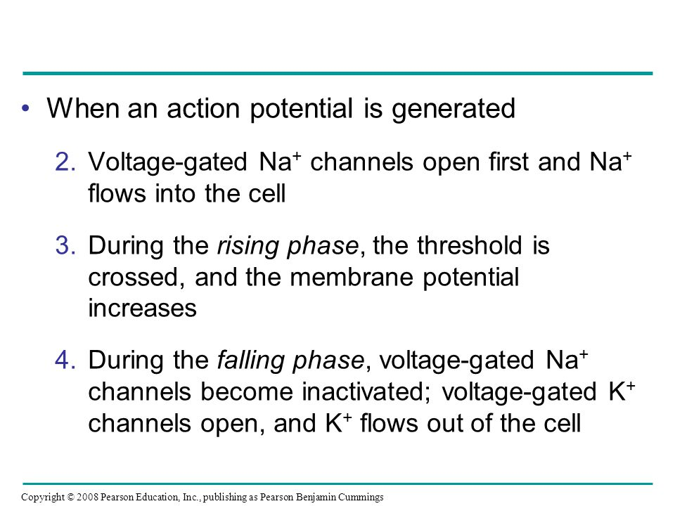 Copyright © 2008 Pearson Education, Inc., publishing as Pearson Benjamin Cummings When an action potential is generated 2.Voltage-gated Na + channels open first and Na + flows into the cell 3.During the rising phase, the threshold is crossed, and the membrane potential increases 4.During the falling phase, voltage-gated Na + channels become inactivated; voltage-gated K + channels open, and K + flows out of the cell