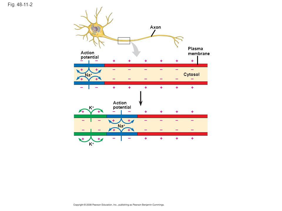 Fig. 48-11-2 Axon Plasma membrane Cytosol Action potential Na + Action potential Na + K+K+ K+K+