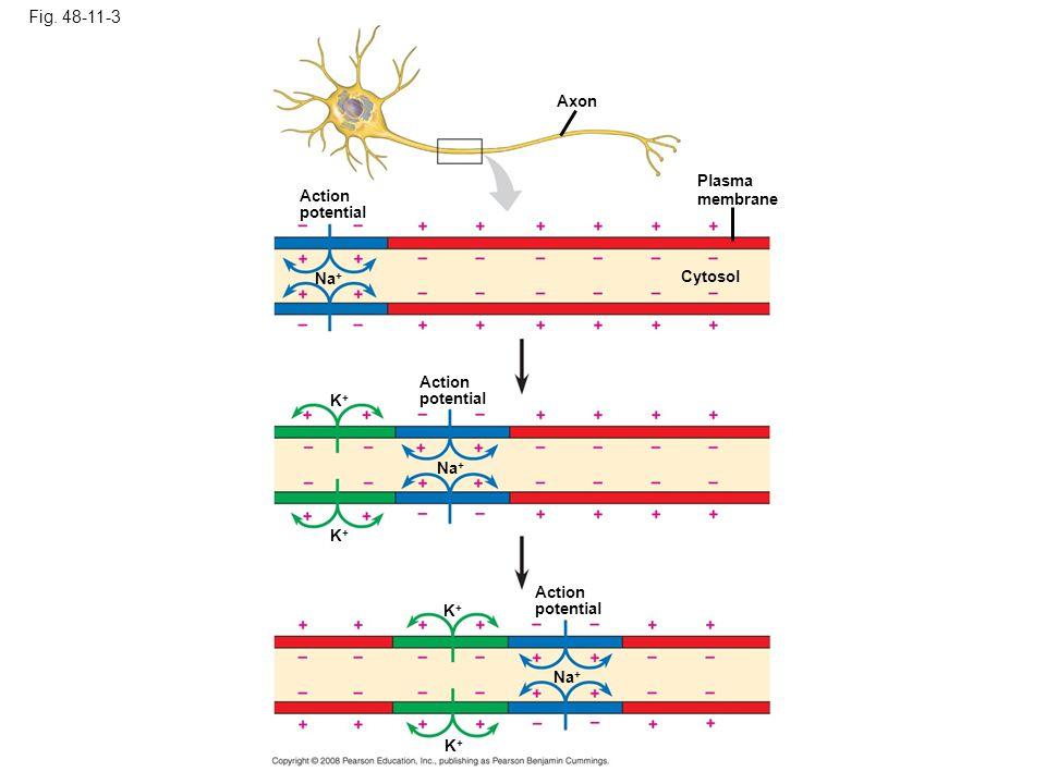 Fig. 48-11-3 Axon Plasma membrane Cytosol Action potential Na + Action potential Na + K+K+ K+K+ Action potential K+K+ K+K+ Na +