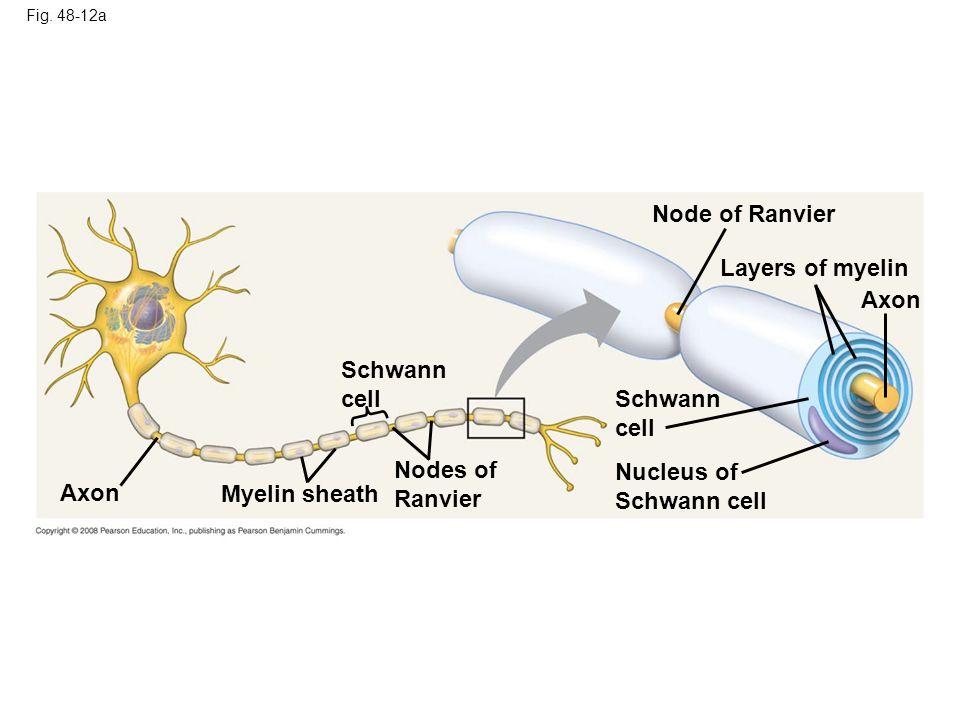 Fig. 48-12a Axon Myelin sheath Schwann cell Nodes of Ranvier Schwann cell Nucleus of Schwann cell Node of Ranvier Layers of myelin Axon
