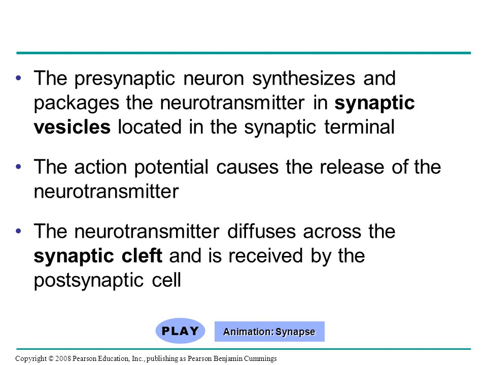 Copyright © 2008 Pearson Education, Inc., publishing as Pearson Benjamin Cummings The presynaptic neuron synthesizes and packages the neurotransmitter in synaptic vesicles located in the synaptic terminal The action potential causes the release of the neurotransmitter The neurotransmitter diffuses across the synaptic cleft and is received by the postsynaptic cell Animation: Synapse Animation: Synapse