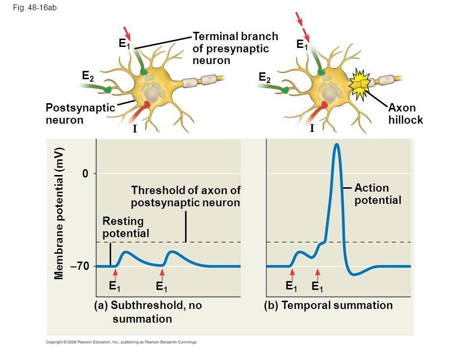 Fig. 48-16ab E1E1 E2E2 Postsynaptic neuron I Terminal branch of presynaptic neuron E2E2 0 –70 Threshold of axon of postsynaptic neuron Resting potenti