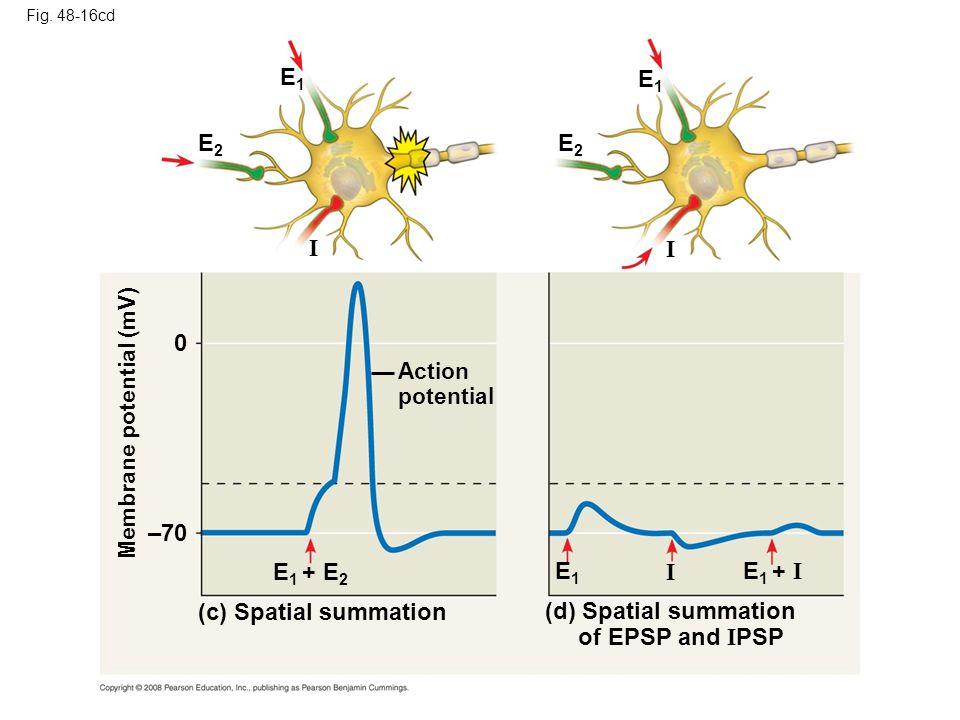 Fig. 48-16cd E1E1 E2E2 Membrane potential (mV) Action potential I E 1 + E 2 (c) Spatial summation (d) Spatial summation of EPSP and I PSP E1E1 E1E1 E