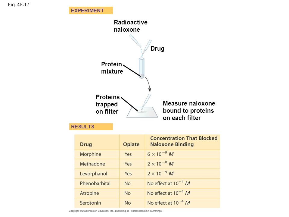 Fig. 48-17 EXPERIMENT RESULTS Radioactive naloxone Drug Protein mixture Proteins trapped on filter Measure naloxone bound to proteins on each filter