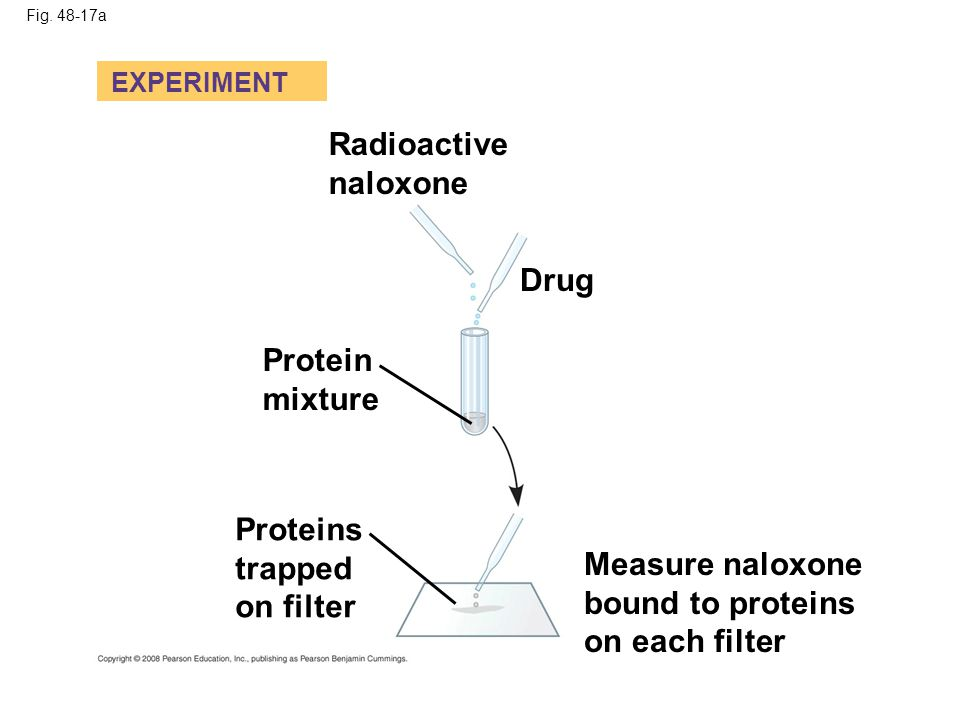 Fig. 48-17a EXPERIMENT Radioactive naloxone Drug Protein mixture Proteins trapped on filter Measure naloxone bound to proteins on each filter