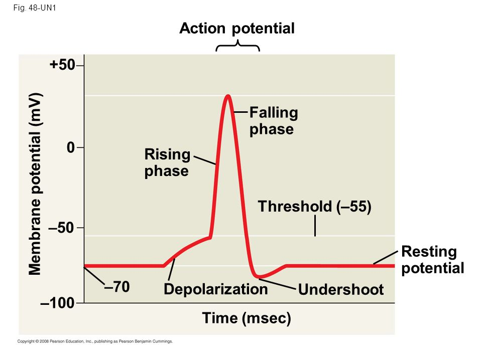 Fig. 48-UN1 Action potential Falling phase Rising phase Threshold (–55) Resting potential Undershoot Time (msec) Depolarization –70 –100 –50 0 +50 Mem