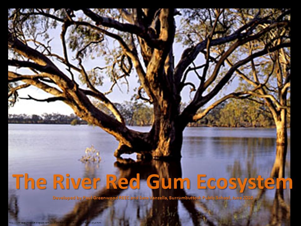 Eucalyptus camaldulensis is also known as the River Red Gum.