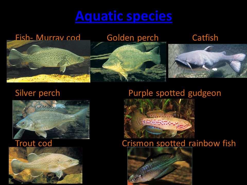 Aquatic species Fish- Murray cod Golden perch Catfish Silver perch Purple spotted gudgeon Trout cod Crismon spotted rainbow fish
